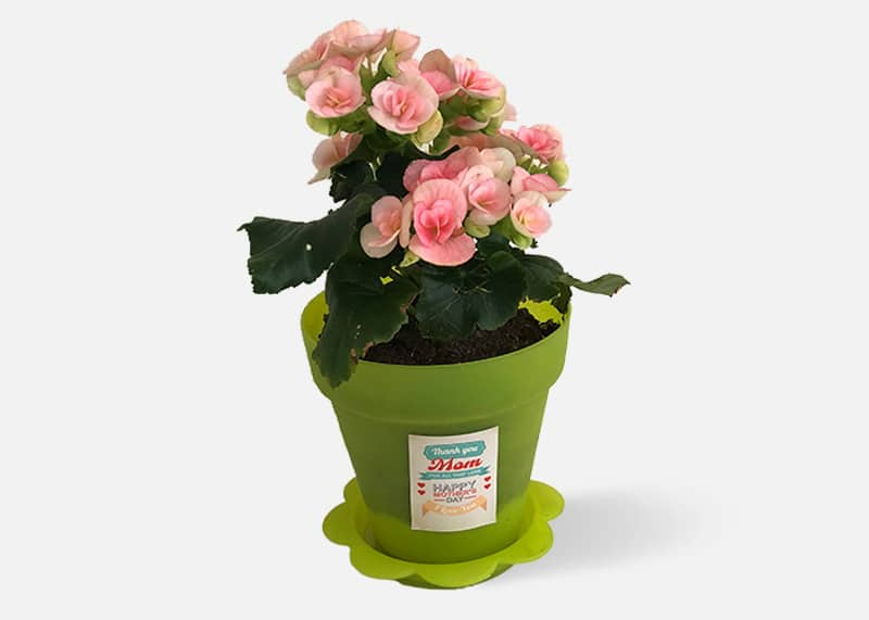For the Love of Begonia