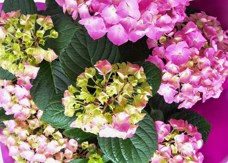 For the love of Hydrangea