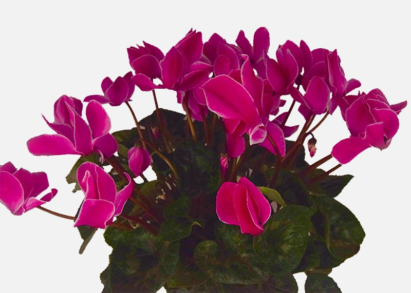 For the Love of Cyclamen