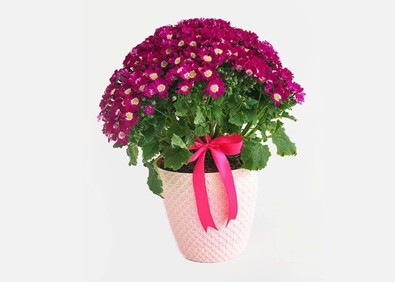 For the love of cineraria plant